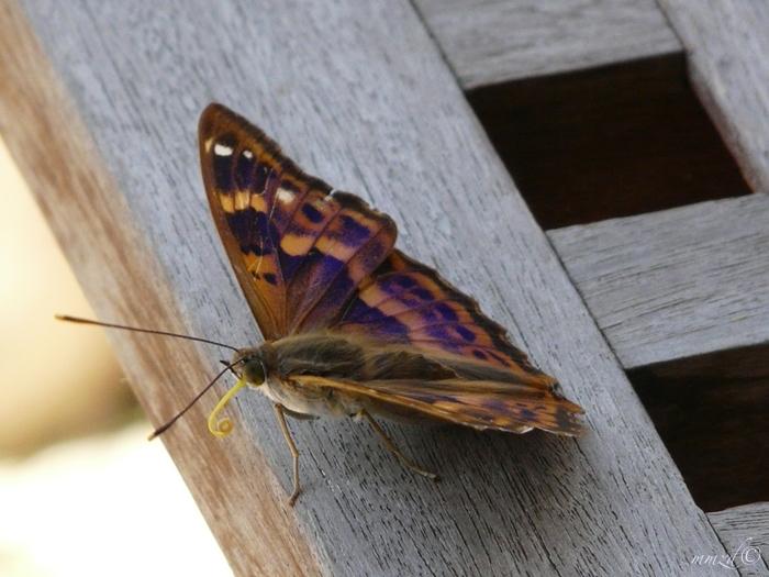 farfalla_014
